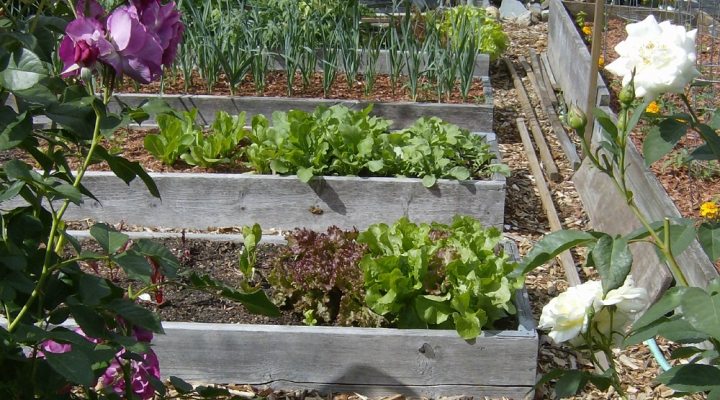 Master Gardeners grow interest in home gardening through Victory .